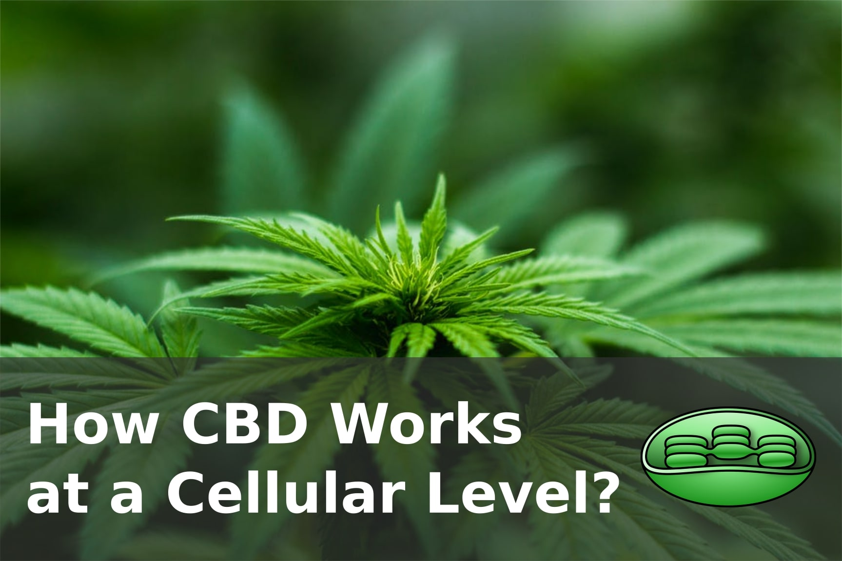 How CBD Works at a Cellular Level